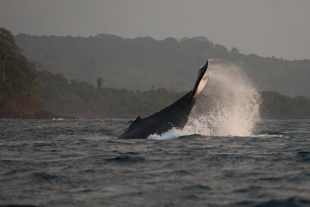 Bom Bom Island Resort - Observation des baleines dans le Golfe de Guinée