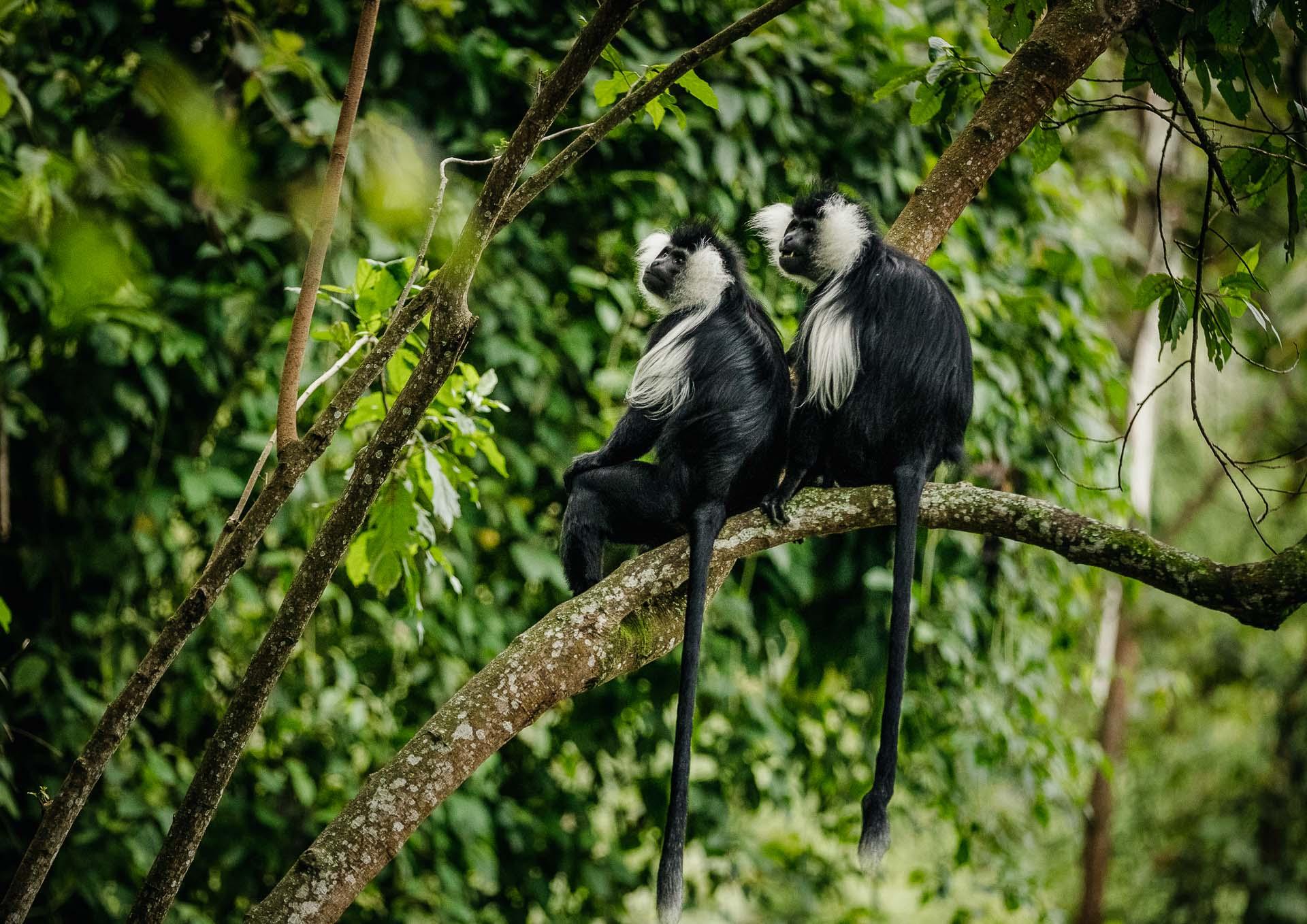 Singes colobus - Rwanda.