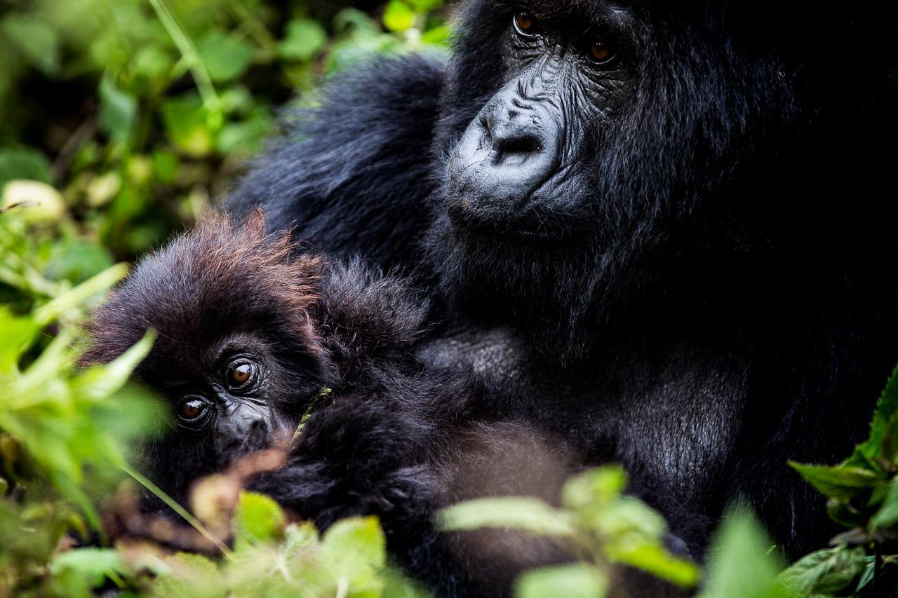 Randonnée à la recherche des gorilles - Rwanda.