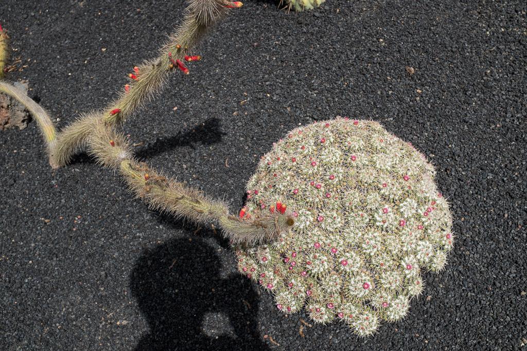 Jardín de Cactus. Lanzarote.
