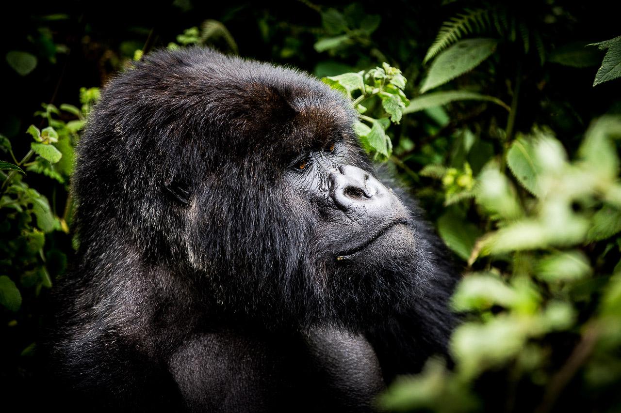 Le Rwanda est l'un des pays d'Afrique où la faune est la mieux préservée. © DR