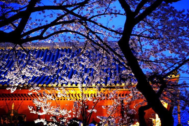 Cerisier en fleur dans le parc d'Ueno