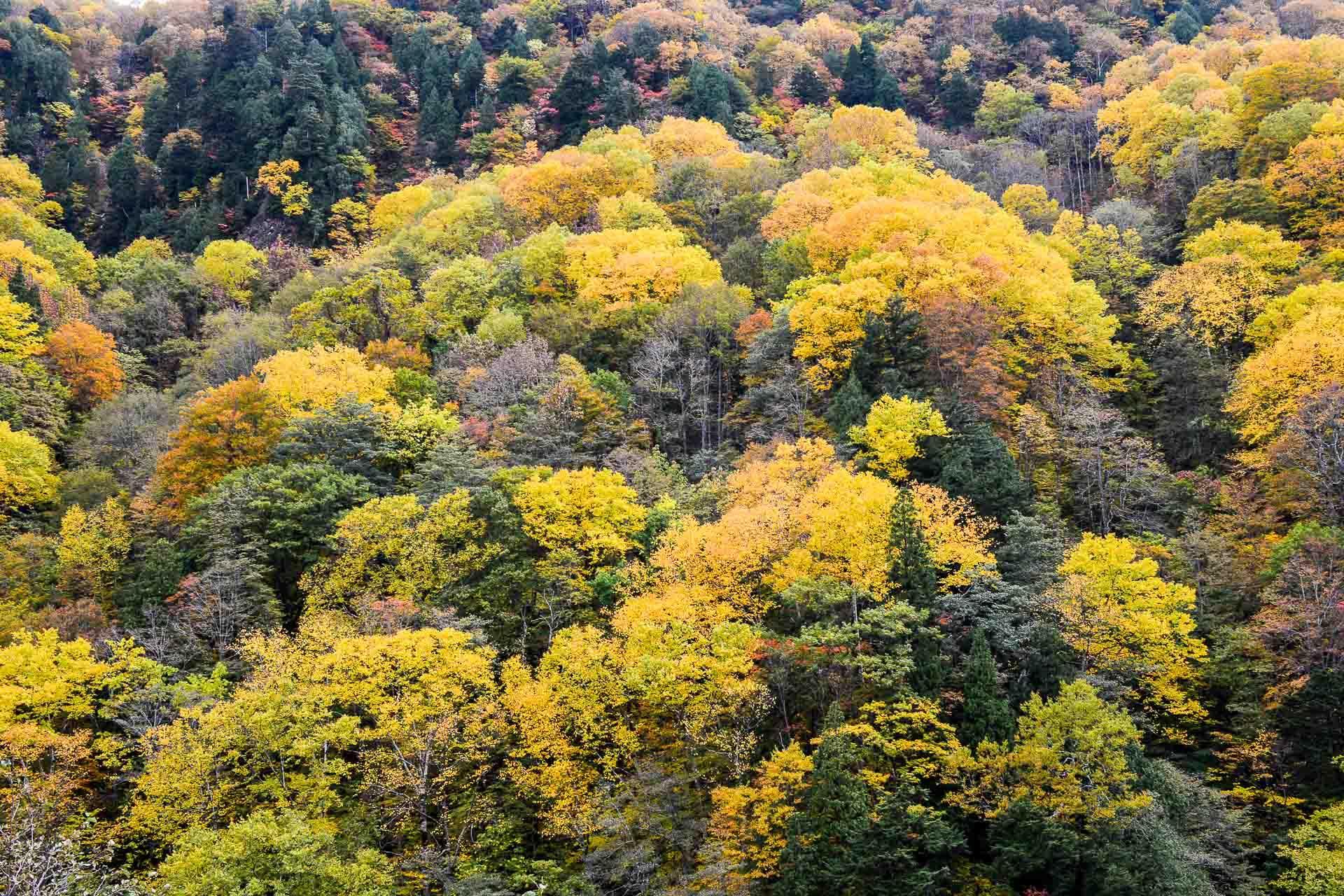 L'automne au Japon est une saison fabuleuse où observer les érables.