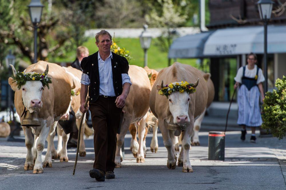 La transhumance des troupeaux, une tradition toujours présente à Gstaad © Destination Gstaad