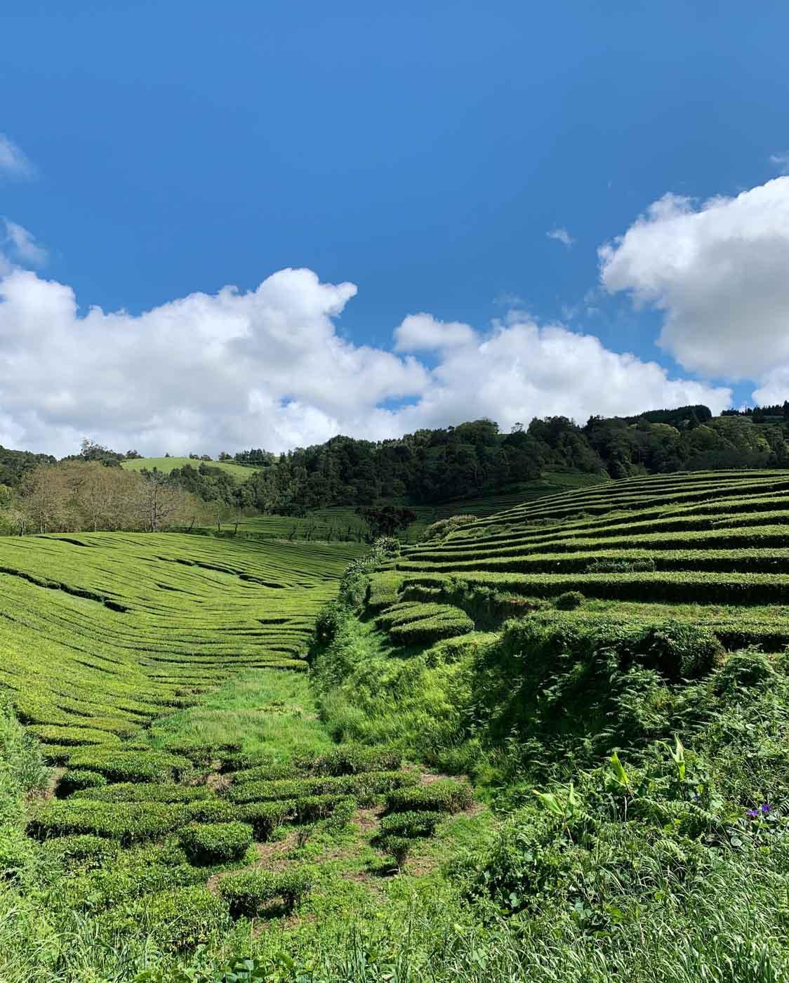 Paysage d'Asie du Sud-Est à Chá Gorreana © YONDER.fr/PG