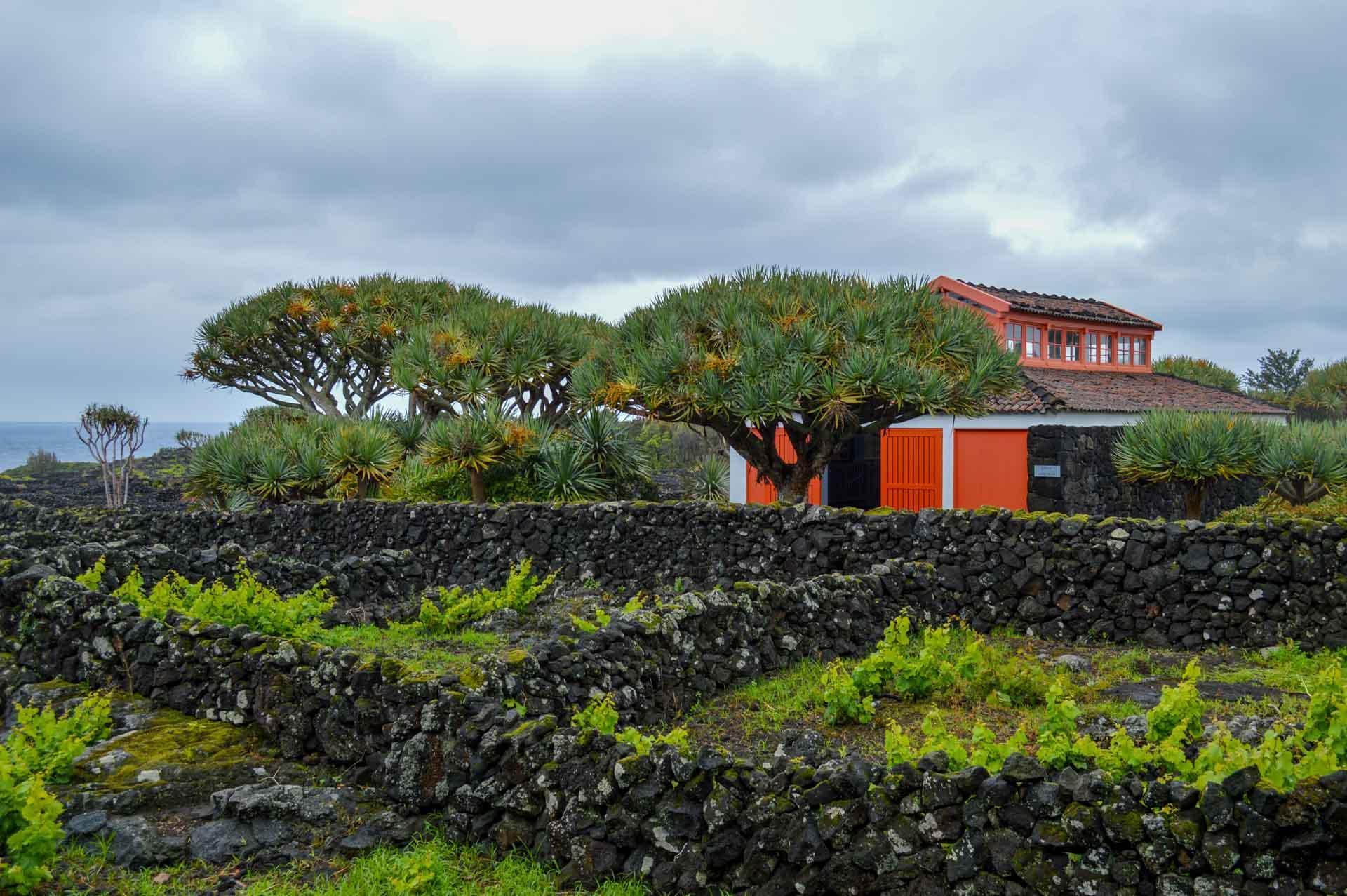 Le musée du vin et des vignes traditionnelles entourées de murets au premier plan © YONDER.fr/PG