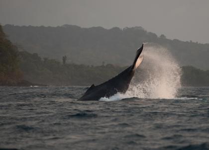Observer les baleines dans le Golfe de Guinée, une expérience signée Bom Bom Island