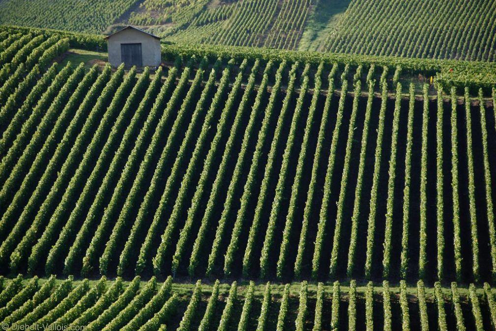 Vignes du producteur Diebolt-Vallois à Cramant (Côte des Blancs) © Remi Loisel - Studio Amarante pour Diebolt-Vallois