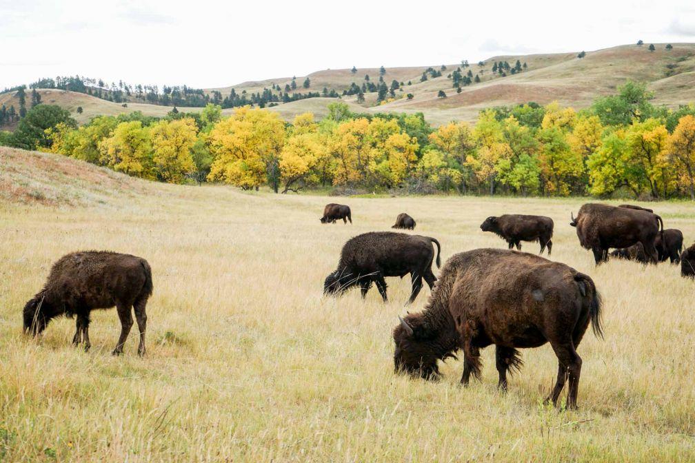 Le Custer State Park est un incontournable de toute visite dans le Dakota du Sud.