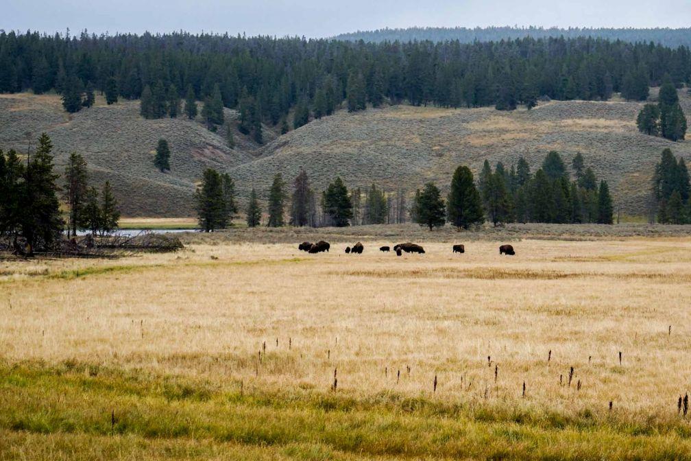 Le Yellowstone est un sanctuaire pour les bisons, Ils seraient aujourd'hui environ 4,000 dans le parc. © YONDER.fr