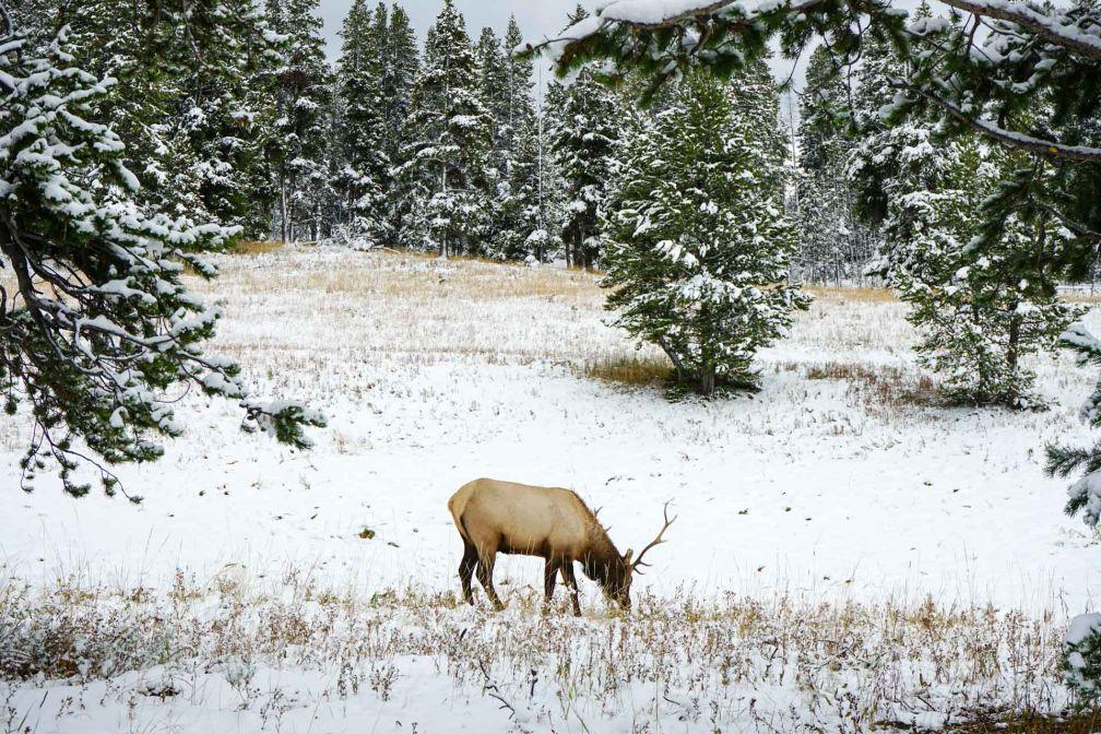Un cerf broute paisiblement après que la neige soit fraîchement tombée © YONDER.fr
