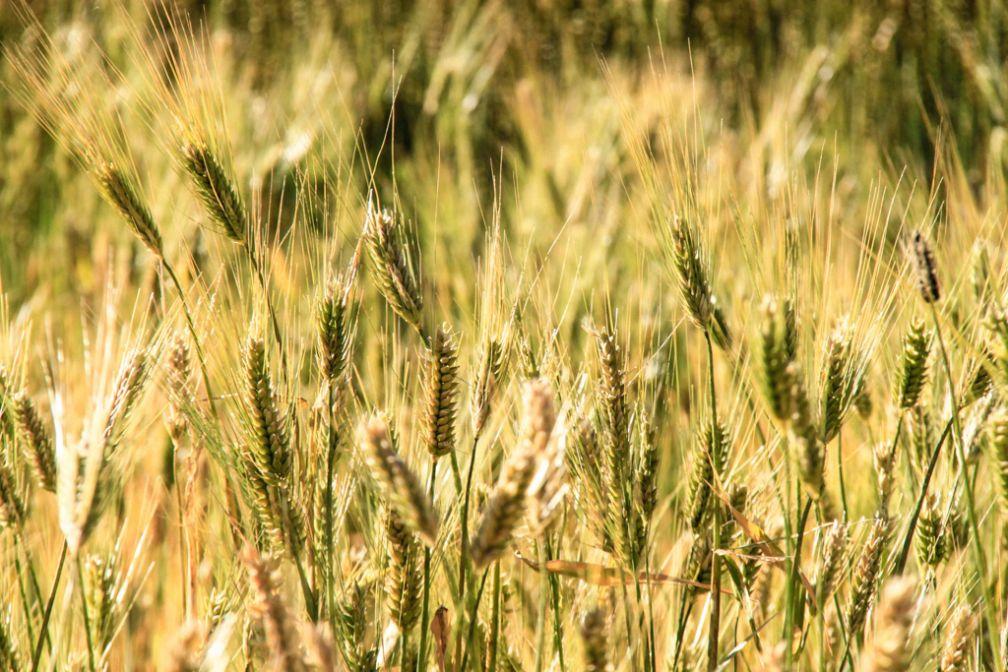Epis de blé sur l'île d'Amantani | © Cédric Aubert