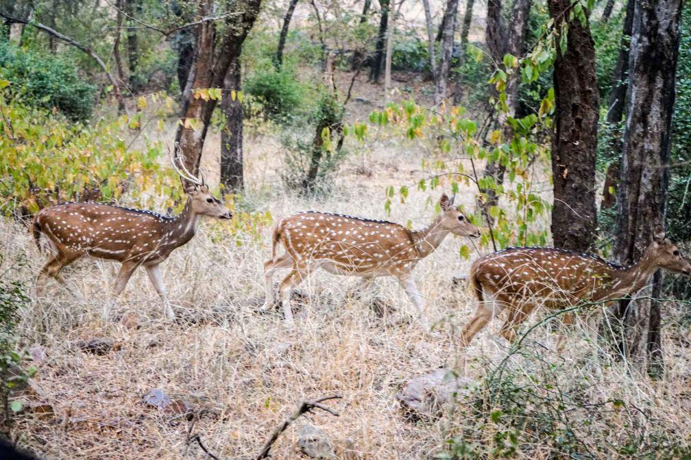 Observation des cerfs Chital (