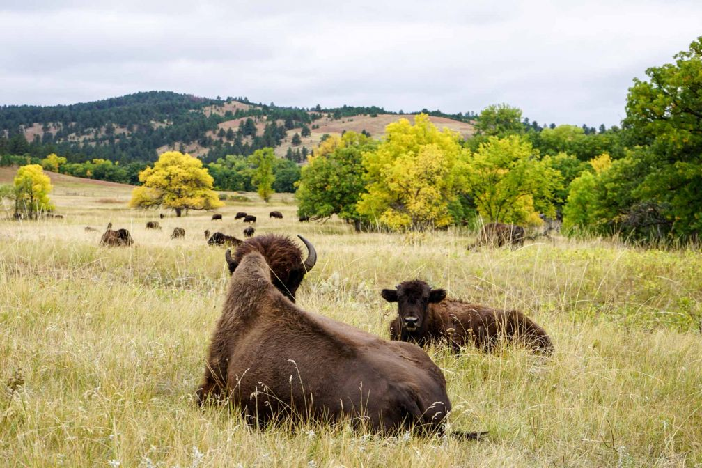 Les bisons du Custer State Park.