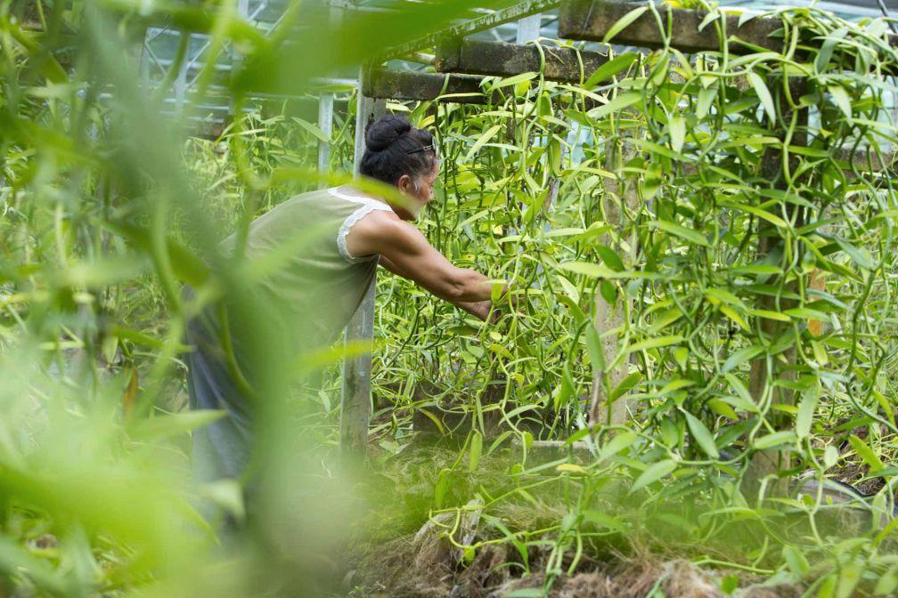 La culture de la vanille sur l'île de Raiatea © Tahiti Tourisme