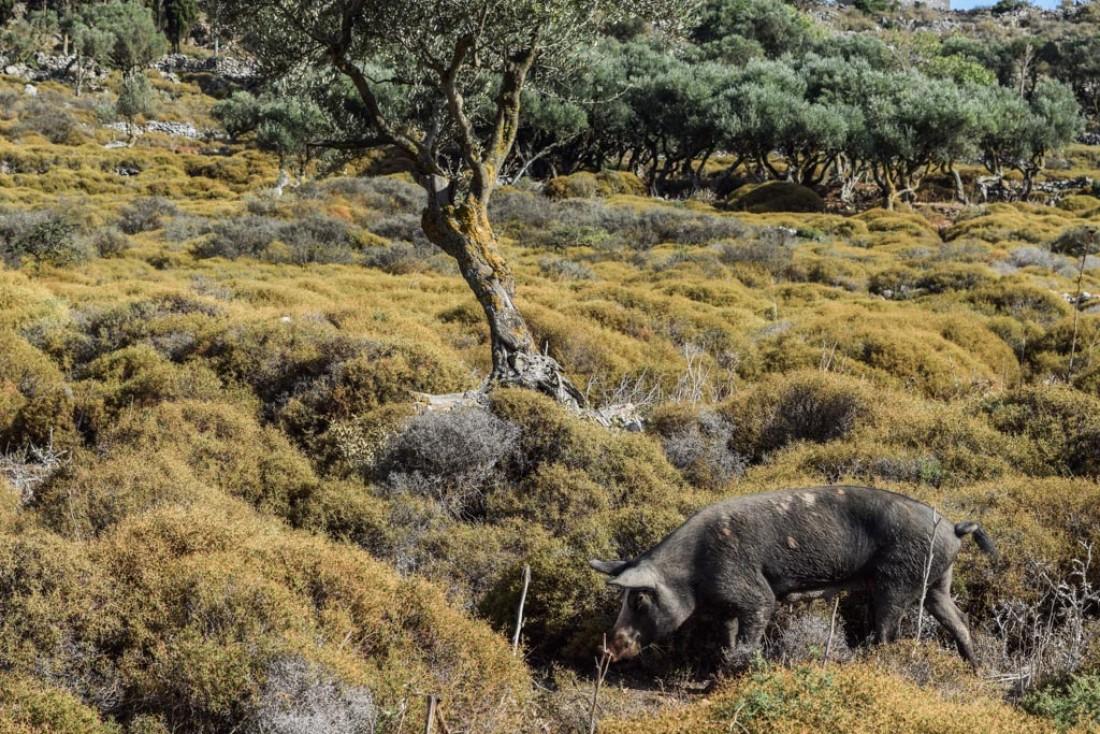 Les troupeaux de cochons se baladent en toute liberté comme ici à côté de Kenourgia Chora  © Yonder.fr