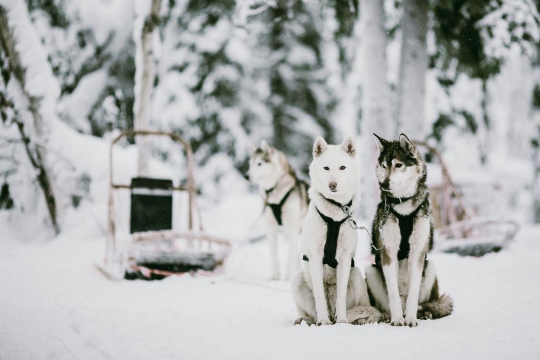 Les équipages de chiens de traîneaux, aussi dynamiques qu'attachants © VisitFinland