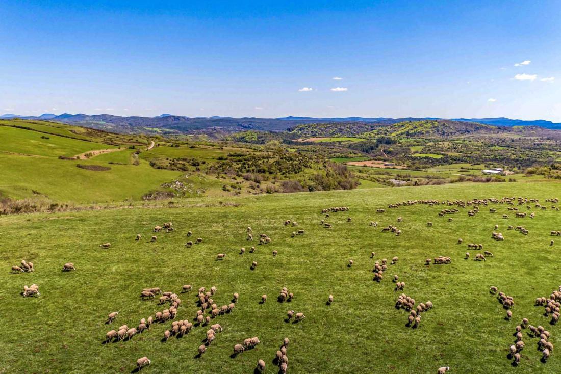 Les brebis de l'Aveyron et de quelques communes des départements limitrophes fournissent le lait du Roquefort AOP © Larzac -Roquefort – Territoire – Studio