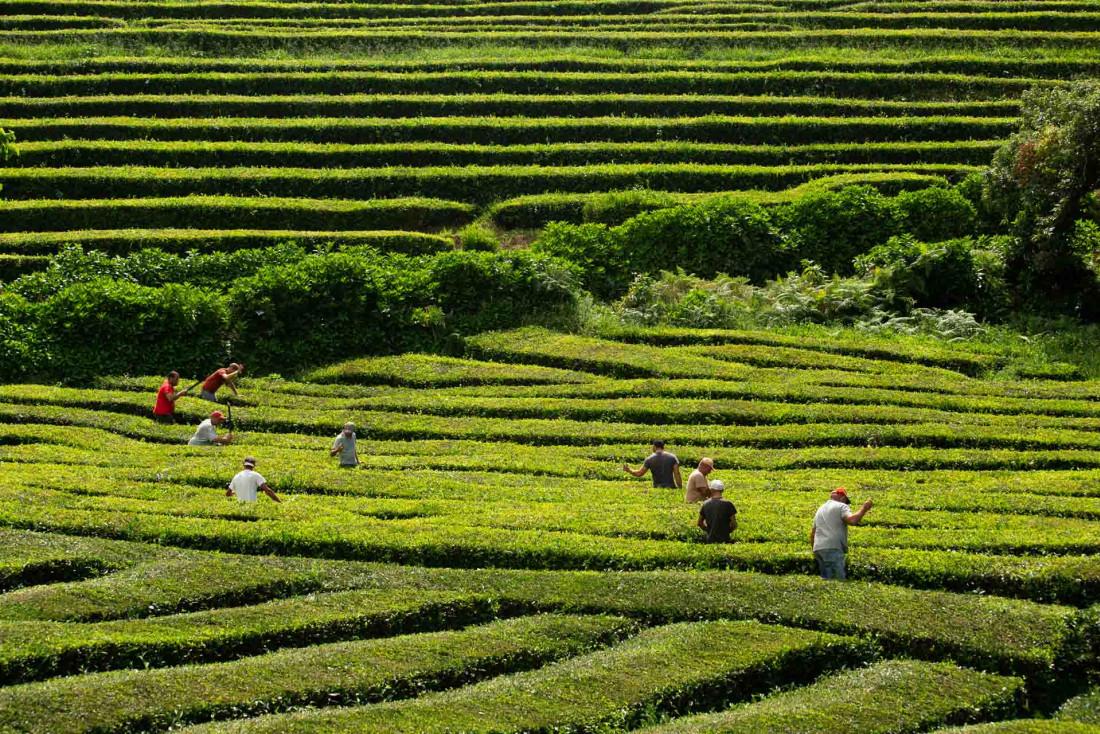 Les plantations de thé de Chá Gorreana à São Miguel © VisitAzores