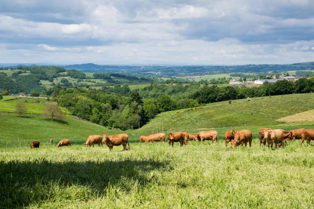 Les vaches se repaissent de la bonne herbe fraîche de la campagne aveyronnaise ©Bernard Girardin - AdobeStock