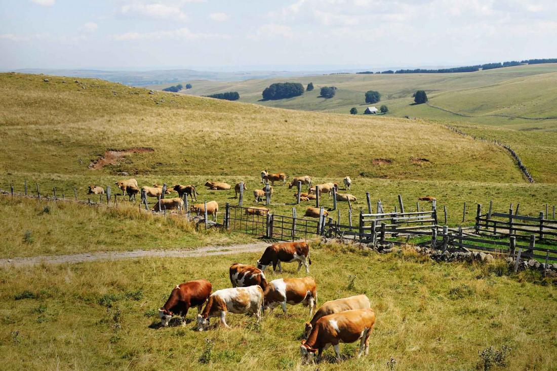 Les vaches Simmental à l'origine du Laguiole AOP © V. Baldensperger