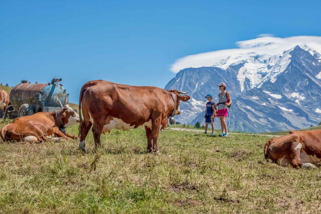 Le bonheur des vaches en alpage l'été à la montagne © Boris Molinier
