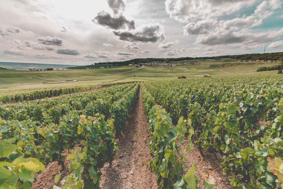 Les vignes en AOC champagne couvrent plus de 33,000 hectares © adobestock - Adrien