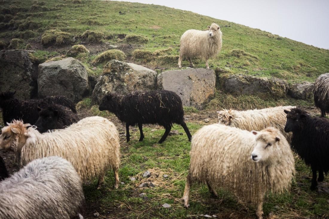 Les moutons d'Óli Rubeksen à Syðradalur.
