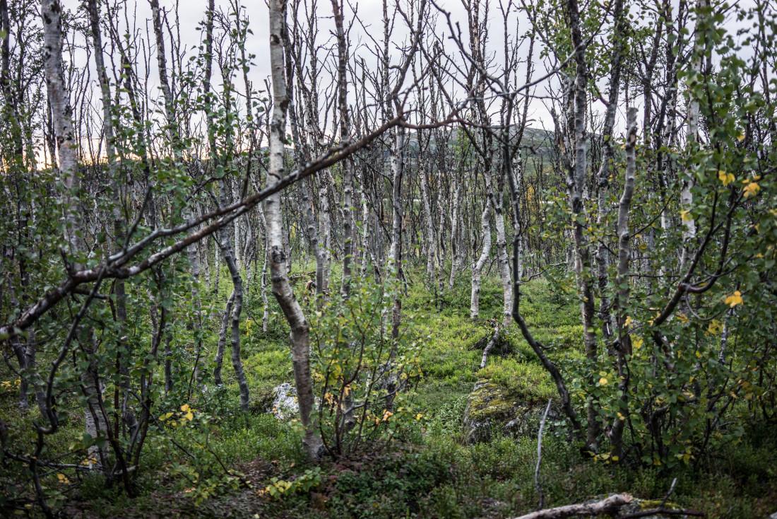 Bouleaux à proximité de la gare de Låktatjåkka.