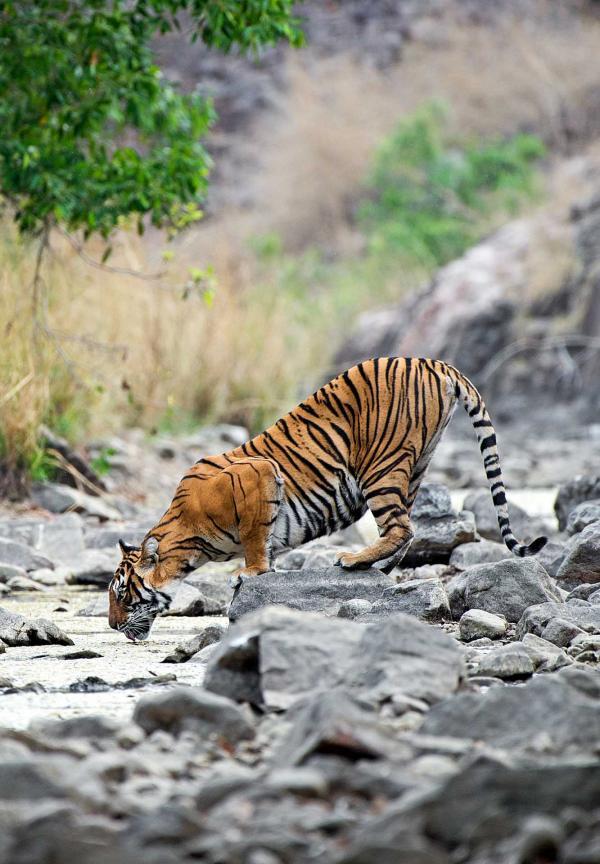 SUJÁN Sher Bagh, Parc National de Ranthambore © SUJÁN
