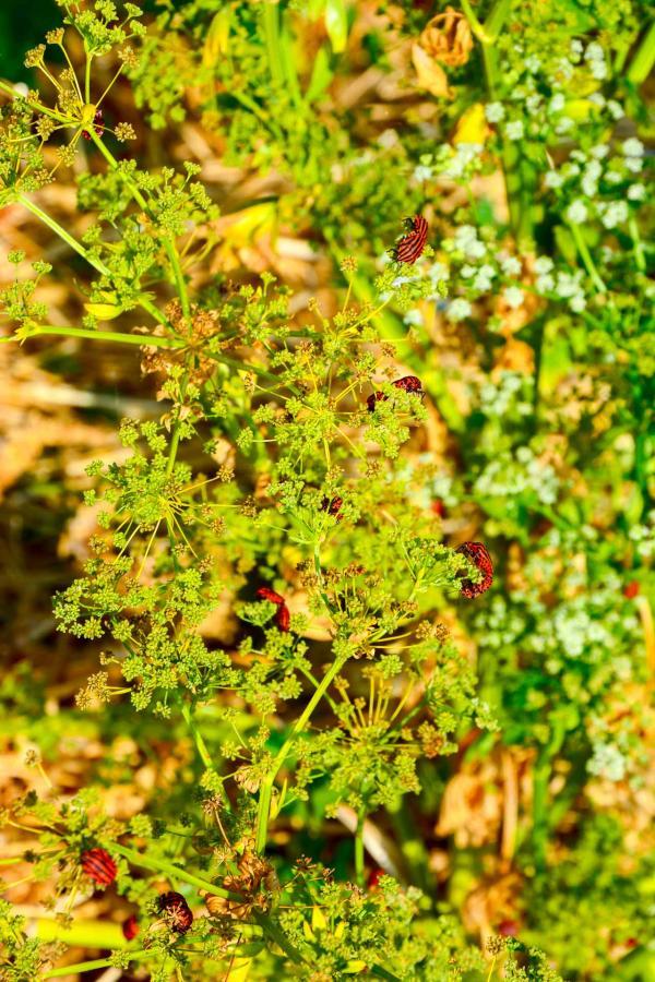 Royaume des insectes, les fleurs de fenouil non traitées qui parfumeront une écume de chou rouge © YONDER.fr