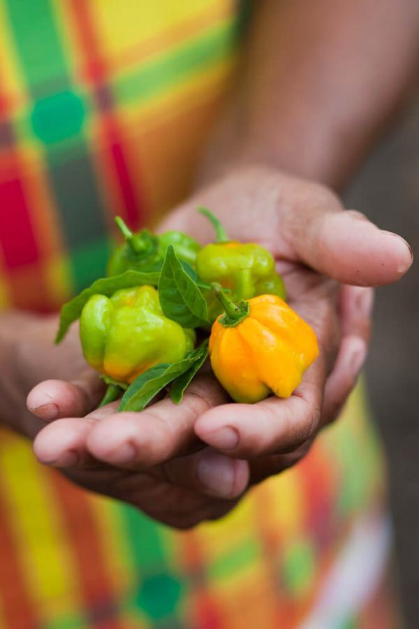 Piment chapo en Guyane © Valérie Lhomme