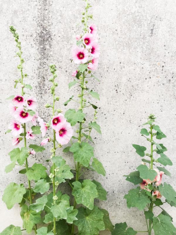 Les roses trémières sont les fleurs emblématiques de l'île © Yonder.fr