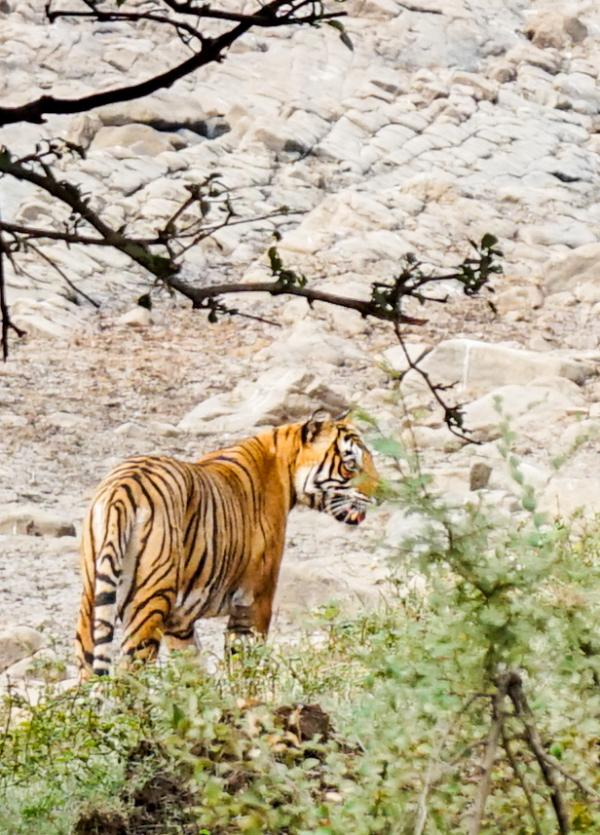 Après deux heures d'attente, on aperçoit finalement l'un des tigres, l'un des soixante félins vivant dans l'enceinte du tigre © YONDER.fr