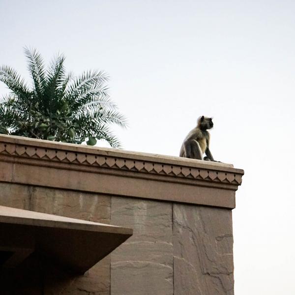 Un singe observe les alentours, tranquillement posté sur le toit de notre pavillon © YONDER.fr