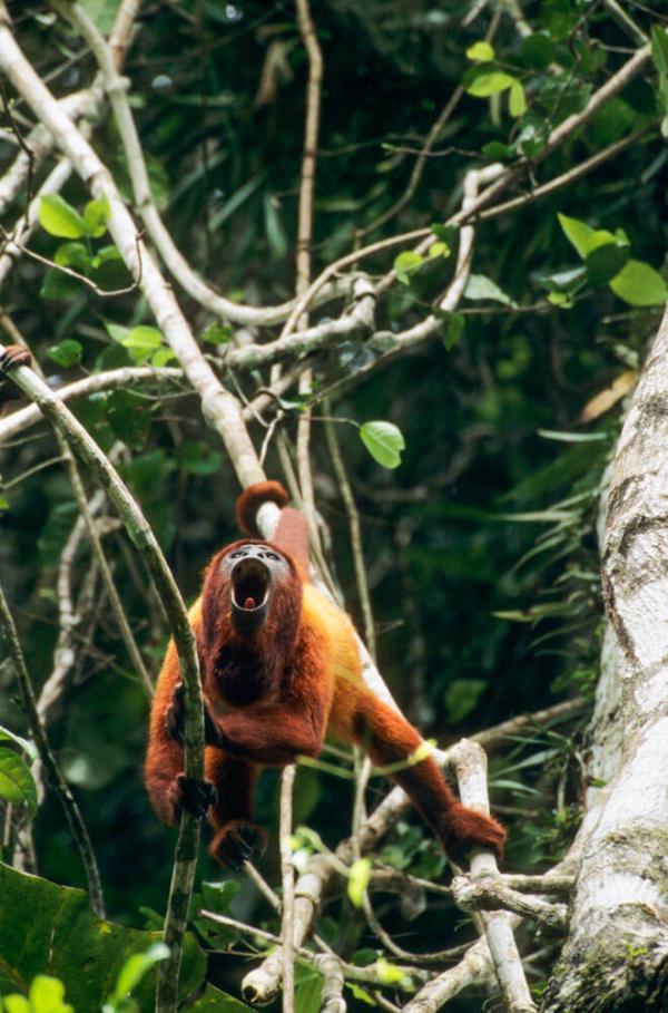 Un singe hurleur dans la forêt guyanaise © Nicolas Cegalerba