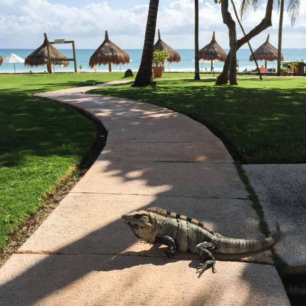 Des iguanes se promènent en tout liberté dans le resort © Yonder.fr