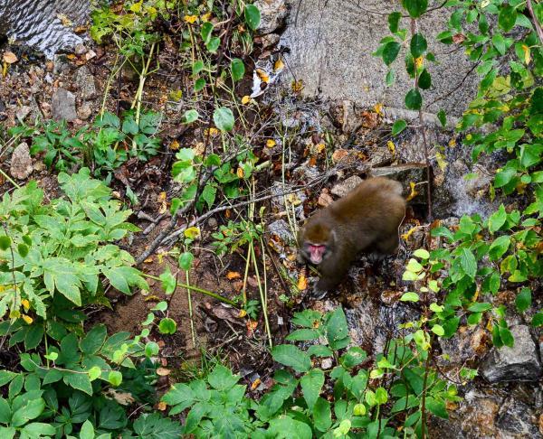 Tohoku accueille de nombreux animaux, dont des singes facilement observables en forêt. © Pierre Gunther