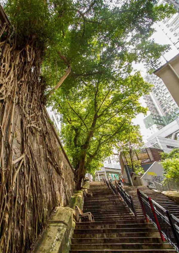 """Les racines d'un banian (""""banyan tree"""") près d'Hollywood Road © Gavin – adobe.stock.com"""