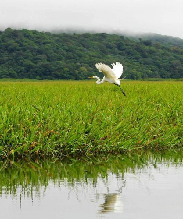 Aigrette blanche dans le marais de Kaw © Jean-Emmanuel Hay