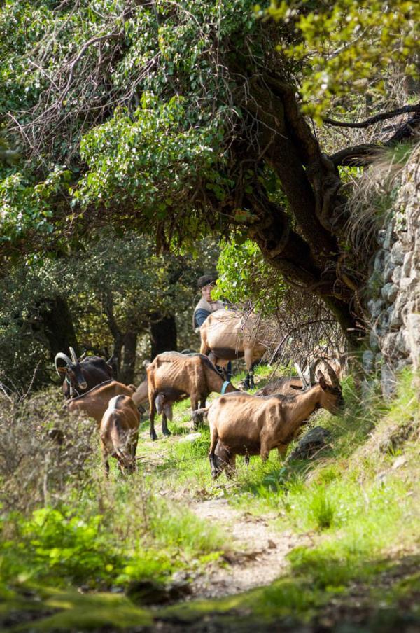 L'éleveuse et productrice de pélardon Marylène Julien et son troupeau © Comonlight