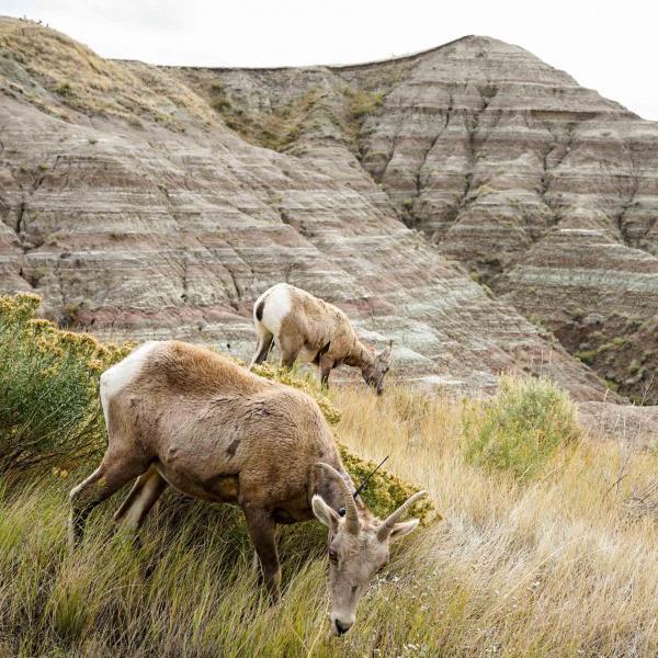"""Les """"pronghorns"""", des sortes d'antilopes, sont nombreuses dans le parc © YONDER.fr"""