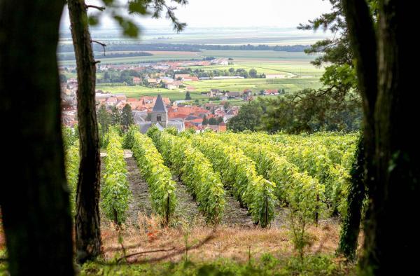 Les vignes de la Maison Salon au Mesnil-sur-Oger © Serge Chapuis