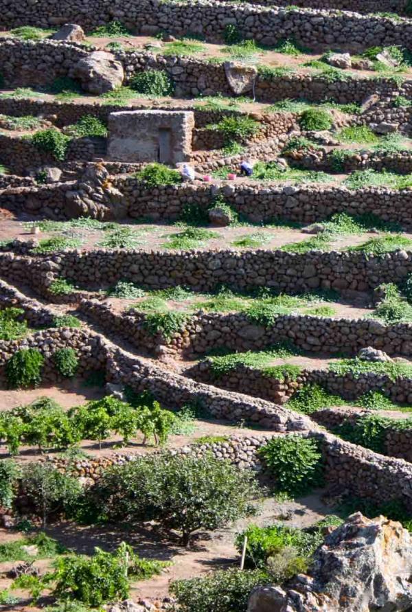 Culture de câpres en terrasse © Rosario Cappadona