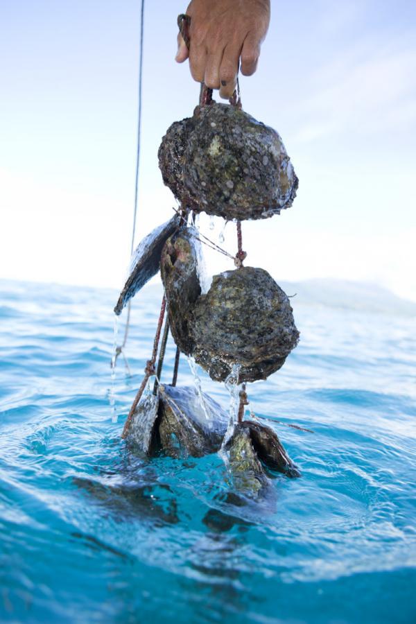 Récolte des perles en Polynésie © Tahiti Tourisme