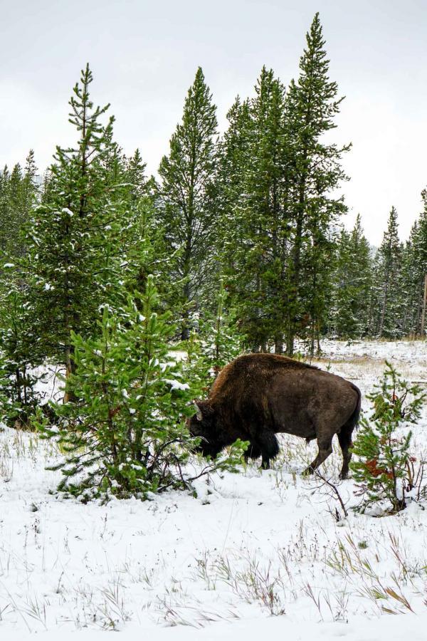Les bisons sont les animaux sauvages que l'on croise le plus souvent dans le parc © YONDER.fr