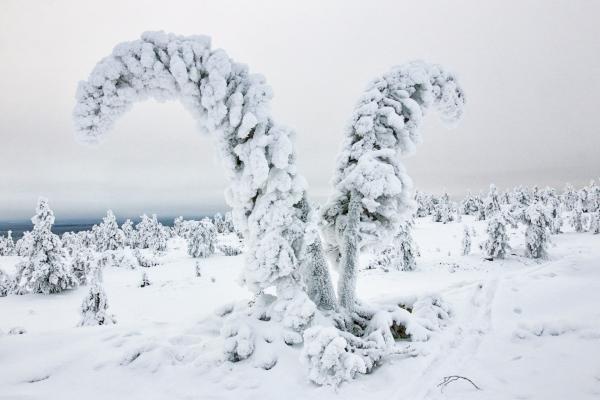 Les arbres recouverts de neige aux formes fantaisistes du parc du Riisisunturi. © Thierry Chevillard