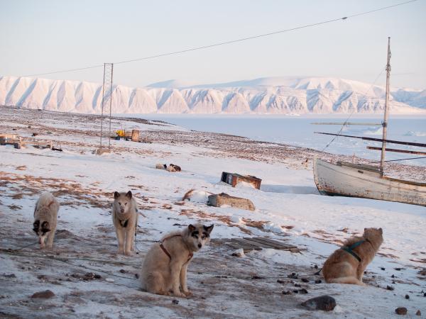 Chiens de traineau à Qaanaaq.