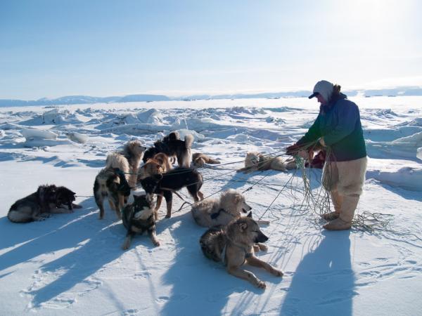 Qillaq et les chiens de traineau.Tous les chiens sont attachés en un seul point au traineau et il faut donc régulièrement démêler les cordes...