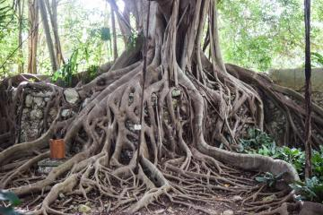 Les arbres centenaires sont légions dans l'Hacienda © Yonder.fr